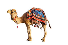 在一块五颜六色的马布料的骆驼 免版税库存图片