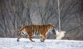 在一块多雪的沼地的东北虎有牺牲者的 中国 哈尔滨 黑色白色 牡丹江省 横道河子公园 免版税库存图片