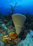 在一块天蓝色的花瓶海绵的海蛇尾在Roatan,洪都拉斯 免版税库存图片