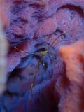 在一块天蓝色的花瓶海绵的箭头螃蟹 库存照片