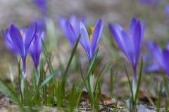 在一块小森林沼地的紫罗兰色番红花 库存图片