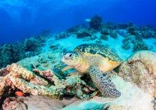 在一块损坏的礁石的海龟 免版税库存图片