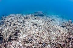 在一块损坏的礁石的死的珊瑚 免版税库存图片