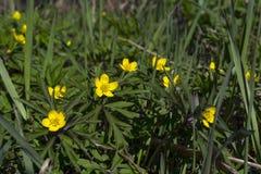 在一块晴朗的春天森林沼地的毛茛 库存照片