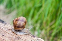 在一块木头的蜗牛 库存照片