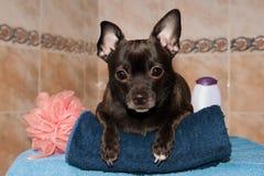 在一块毛巾的奇瓦瓦狗与香波 库存图片