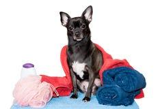 在一块毛巾的奇瓦瓦狗与香波 免版税图库摄影