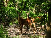 在一块沼地的两头兄弟鹿在森林 免版税库存照片