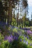 在一块沼地的很多蓝色羽扇豆在杉木森林附近 库存照片