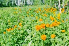 在一块沼地的美丽的橙色花在森林里 免版税库存照片