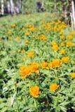 在一块沼地的美丽的生动的橙色花在森林里 库存图片