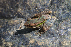 在一块湿石头的青蛙 免版税库存图片