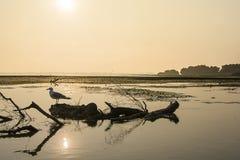 在一块漂移的木头的海鸥在日出的 免版税库存图片
