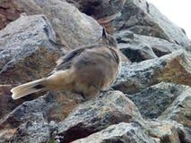在一块灰色石头的小棕色鸟 免版税库存图片