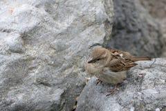 在一块灰色石头的小棕色鸟 库存图片