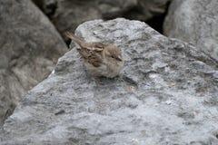 在一块灰色石头的小棕色鸟 免版税库存照片