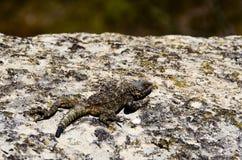 在一块灰色石头的蜥蜴在的被弄脏的乔治亚山  库存照片