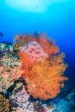 在一块热带礁石的五颜六色的海底扇 免版税库存照片