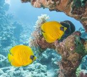 在一块热带礁石的被掩没的蝴蝶鱼 免版税库存照片