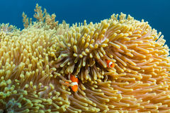 在一块热带礁石的Clownfish 图库摄影