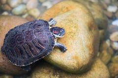 在一块石头的乌龟在水中 免版税库存照片