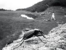 在一块石头的大黑臭虫在山 免版税图库摄影