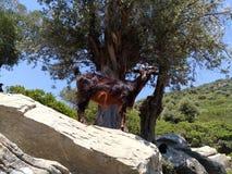 在一块石头的石山羊在岩石的树中 图库摄影