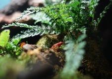 在一块石头的红色青蛙在蕨下 免版税库存图片