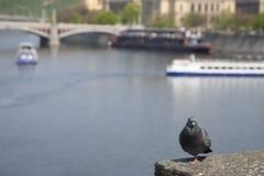 在一块石板材的鸠在河的背景 免版税库存照片