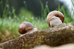 在一块石头的两只蜗牛在庭院里 库存照片