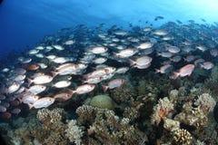 在一块礁石的共同的大眼鲷在红海 免版税库存照片