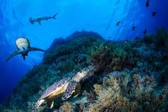 在一块礁石的绿浪乌龟与鲨鱼 免版税图库摄影