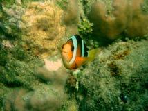 在一块礁石的Clownfish Amphirion在印度洋 库存图片