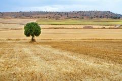 在一块粮田的孤立树在收获以后 库存图片