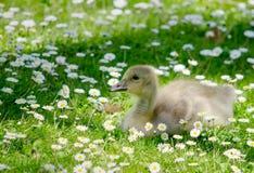 在一块花田的小鹅 免版税图库摄影