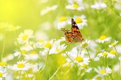 在一块花田的美丽的蝴蝶与雏菊 一个柔和的夏天图象 安置文本 免版税图库摄影