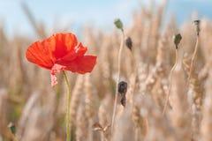 在一块金黄成熟麦田的一朵红色鸦片花 蓝天在背景中 图库摄影