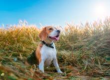 在一块麦田的小猎犬在夏天 免版税库存图片