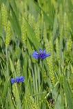 在一块麦田的蓝色花在初夏 库存照片