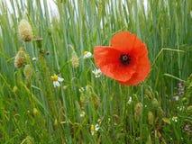 在一块麦田的鸦片与野花的 免版税库存照片
