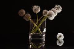 在一块玻璃的白色蓬松花蒲公英在黑背景 库存图片