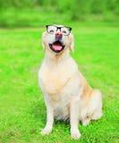 在一块玻璃的金毛猎犬狗在草在夏日 免版税库存图片