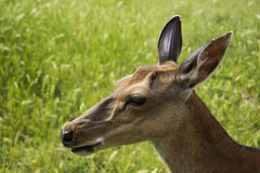在一块绿色沼地的照片鹿 免版税库存图片