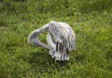 在一块绿色沼地的鹈鹕 图库摄影
