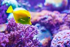 在一块紫色礁石的黄色鱼 库存图片