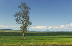 在一块绿色麦田的孤零零树 库存图片