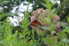 在一堆苍白乔Pye杂草的黑脉金斑蝶 图库摄影