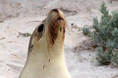 在一头femalee澳大利亚海狮的特写镜头在封印海湾坎加鲁岛,南澳大利亚 库存照片