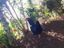 在一好日子期间,美丽的黑鸡 免版税库存照片