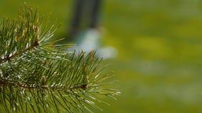 在一家绿色草甸高尔夫俱乐部的具球果分支在背景高尔夫球运动员 免版税库存图片